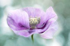 https://flic.kr/p/HJfC8N | Opium Poppy | © www.jackyparker.com Facebook