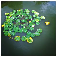 water lily Mobile Photos, Succulents, Lily, Colours, Lights, Water, Plants, Highlight, Gripe Water