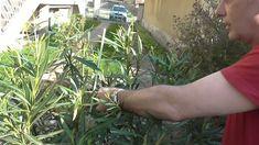 Leander tavaszi metszése, táplálása Herbs, Vegetables, Plants, Herb, Vegetable Recipes, Plant, Veggies, Planets, Medicinal Plants