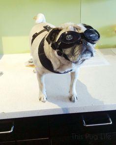 f09018e50ef Pug Wears His Sunglasses at Night