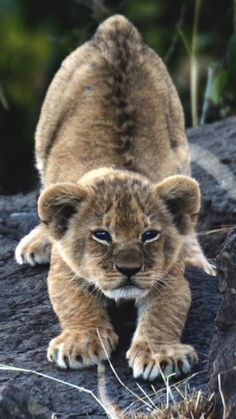 Newest Free big cats and kittens Thoughts Whenever you take a brand new kitten directly into your home, it is an exhilarating time, in addition to for Big Cats, Cats And Kittens, Cute Cats, Kitty Cats, Nature Animals, Animals And Pets, Wild Animals, Beautiful Cats, Animals Beautiful