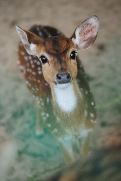 Doe a deer.a wee little baby deer Cute Creatures, Beautiful Creatures, Animals Beautiful, Nature Animals, Animals And Pets, Wild Animals, Green Animals, Forest Animals, Photo Animaliere