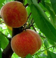 Peach Tree Spraying for insects and fungus