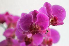 Eine schön blühende Phalaenopsis veröffentlicht auf:  http://lexikon.orchideen-pflegen.de