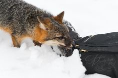 """Leaning In"" - Grey Fox (Urocyon cinereoargenteus) Leans In to Nab Shiny Button on Photographer's Pants - captive animal Holly Kuchera photo taken: Grey Fox, Big Dogs, Artwork, Animals, Button, Pants, Animales, Trouser Pants, Work Of Art"