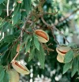 Reliable Almond - Only 12-15 ft tall produces tasty sweet almonds. Zone 5-9