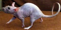 Cheli's hairless rat. cheli- put a sweater on him he'll catch cold  D: