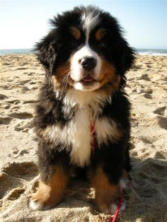 Bernese mountain dog puppy