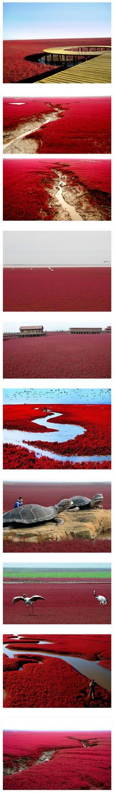 Red Beach Located in Liaohe River Delta China.