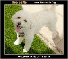 Rescue Me ID: 15-05-15-00447Duke (male) Maltese Mix Age: Adult Compatibility: Good with Most Dogs, Good with Kids and Adults Personality: Average Energy, Average Temperament Health: Neutered, Vaccinations Current adorable maltese looking for a forever home. this sweet 9 year old boy is housebroken and will go to the door and let you know he needs to go out. he is joyful, spunky, and happy. He is good with other dogs and ready to be in his forever home. adoption fee is $180 he is…