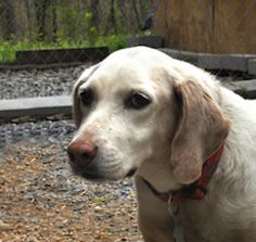 Mia is an adoptable Labrador Retriever Dog in Bremo Bluff, VA. Mia is a former house-pet who was abandoned. We have taken her in, but we would really like to help her find a loving permanent home. She...