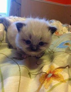 Ragdoll Munchkin kitten~