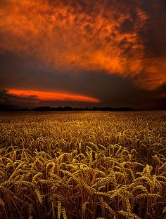 Amber Waves of Grain  by Phil Koch