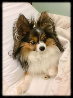 Bedtime stories with my Papillon ❤