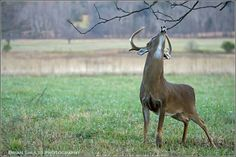 Deer in Cades Cove, TN  Taken By Brian Shults