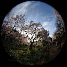 新宿御苑の枝垂れ桜 平日にも関わらず人出が多くて大変でしたが素敵な瞬間に出会えました 全周魚眼#Fisheye 魚眼レンズ夕暮れ 新宿御苑桜枝垂れ桜刈り取り刈り取り柄#TOKYO #SAKURA #JAPAN