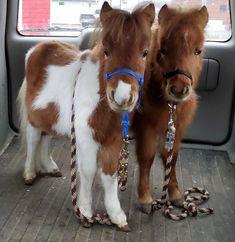 Tiny Mini Horses - Tiny Miniature Horses, Therapy HorsesYou can find Miniature horses and more on our website. Cute Baby Horses, Tiny Horses, Baby Farm Animals, Baby Animals Pictures, Cute Little Animals, Pretty Horses, Cute Animal Pictures, Cute Funny Animals, Beautiful Horses
