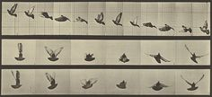 Available for sale from Huxley-Parlour, Eadweard Muybridge, Animal Locomotion: Plate 755 (Pigeon in Flight Collotype Print, 7 × 15 in Sequence Photography, Principles Of Animation, Eadweard Muybridge, Frame By Frame Animation, Animation Tutorial, Animation Reference, Drawing Reference, Strip, You Draw
