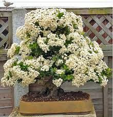 Image result for pyracantha tree