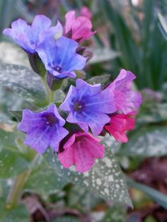 Pulmonaria officinalis, this pretty litte plant is underated, so sweet and with a long flowering period.