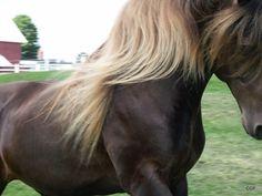 Rocky Mountain Horse Association   Rocky Mountain/Kentucky Mountain/Mountain Pleasure Stallion - CGF ...