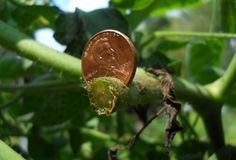 Fighting tomato blight with pennies? Pennies have so many uses in the garden