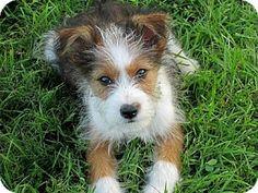 Trenton, NJ - Silky Terrier/Norfolk Terrier Mix. Meet Johnny, a puppy for adoption. http://www.adoptapet.com/pet/13016751-trenton-new-jersey-silky-terrier-mix