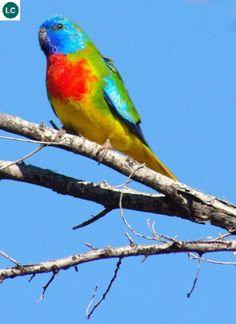 Két ức đỏ châu Úc | Scarlet-chested/Scarlet-breasted/Orange-throated/Splendid parrot (Neophema splendida)(Psittaculidae) IUCN Red List of Threatened Species 3.1 : Least Concern (LC) | (Loài ít quan tâm)