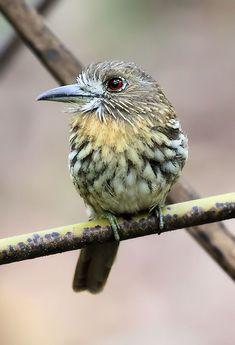 White-whiskered Puffbird - Costa Rica Wildlife Photos