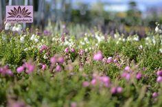 fiori da giardino giardino fiorito : semprevivo PIANTE DA GIARDINO Pinterest