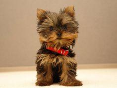 O pequeno grande cão