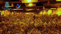 Intervenidas 17.000 plantas de marihuana cultivadas en naves industriales por una red de ciudadanos españoles y chinos :http://www.malagaes.com/nacional/intervenidas-17-000-plantas-de-marihuana-cultivadas-en-naves-industriales-por-una-red-de-ciudadanos-espanoles-y-chinos/