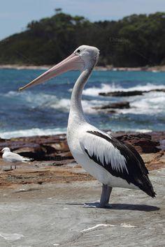 Australian Pelican by dirkr on Creative Market