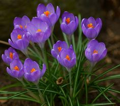 Crocus: Beautiful things come in small bunches - Flickr - Photo Sharing!