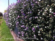 http://unquadratodigiardino.it/forum-di-giardinaggio/arbusti-e-rampicanti/25956-siepe-di-ibisco-hibiscus-syriacus-siepe-decidua-ma-molto-fiorita.html
