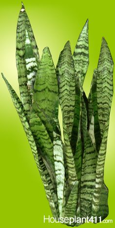 Succulent Sansevieria #Houseplants can reach 4ft. in height. http://www.houseplant411.com/houseplant/snake-plant-care-tips