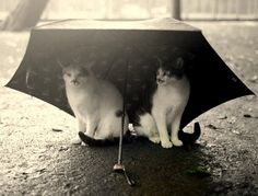 cats under an umbrella in the rain