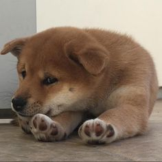 This pooped little Shiba Inu puppy is ready for some ZZZZ's! Shiba Inu puppies need all the rest they can get to keep up with their Doge charm!