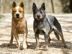 Top 10 Most Intelligent Dog Breeds Ever wondered if your dog belongs to any of the top 5 most intelligent dog breeds? These top 5 most intelligent dogs breeds are ranked based on TWO critical qualities: how fast they are able to learn and master new commands and their ability to obey them 95% of …