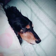 布団は占領されイビキで寝れませんよ(。-ω-)zzz  #instagram#instanow#instadog#愛犬#minichuadakus #doxie #犬バカ#親バカ#シニア犬 #犬 #布団で寝る犬#goodnight