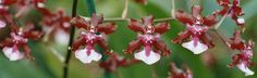 Oncidium Culture | Leave a Reply Cancel reply