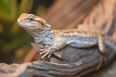 Ready to become a first-time bearded dragon owner?  Consider these things before you buy the beautiful beardie.  #BeardedDragons #BeardedDragonsOnline #StrictlyReptiles #Reptiles #Lizards #OnlineReptileStore #BeardedDragonBreeders