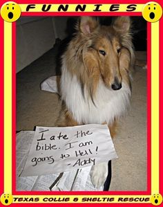 From Texas Collie and Sheltie Rescue