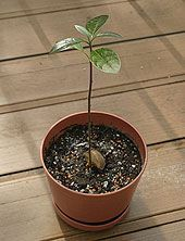 Try 30 for an Avocado Tree. Cross your fingers (really just an excuse to eat avocados)