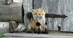 12+ Baby Foxes That Are Too Cute To Be True | Bored Panda
