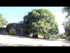 El arce de la Silla de Felipe II, considerado árbol singular por la Comunidad de Madrid.