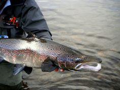 Fly-fishing Photo of Atlantic salmon shared by Martin Arcand – Fly dreamers . Find the best Fly-fishing photos, videos, fly-tying instructions and more in Fly dreamers, the fly-fishing network with anglers from around the globe. Fishing Photos, Atlantic Salmon, Salmon Fishing, Kayak Fishing, Freshwater Fish, Close Up Photos, The Great Outdoors, Kayaking, The Dreamers