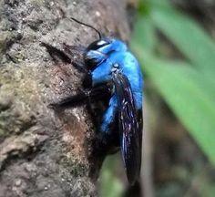 Blue Carpenter Bee via @SonnyBee