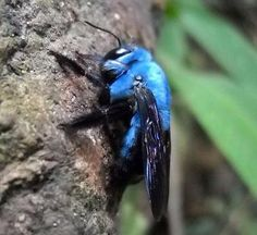 Blue Carpenter Bee via @Bec N. martin | photo pinned by Western Sage and KB Honey (aka Kidd Bros)