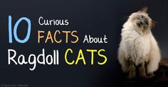 Ragdoll cats are known for their silky, rabbit-like fur, bright blue eyes, and laid-back, docile personalities.